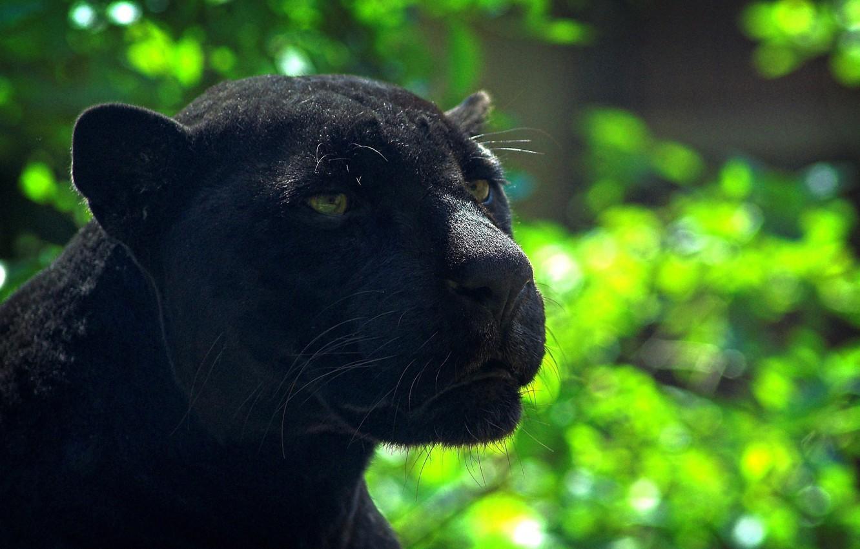 Photo wallpaper Panther, Wild cats, Animal
