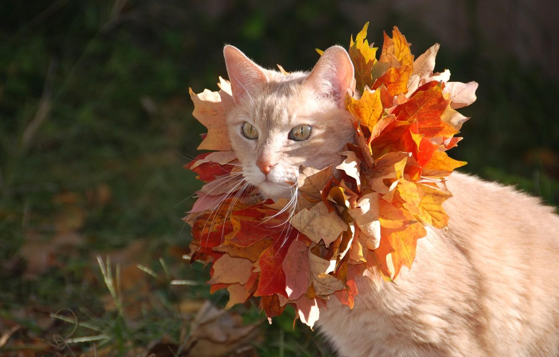 Photo wallpaper cat, cat, leaves, maple