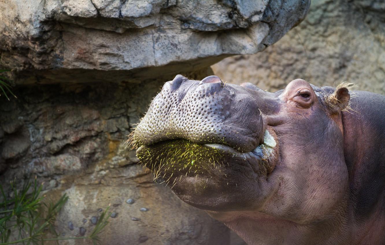 Photo wallpaper background, Hippo, zoo
