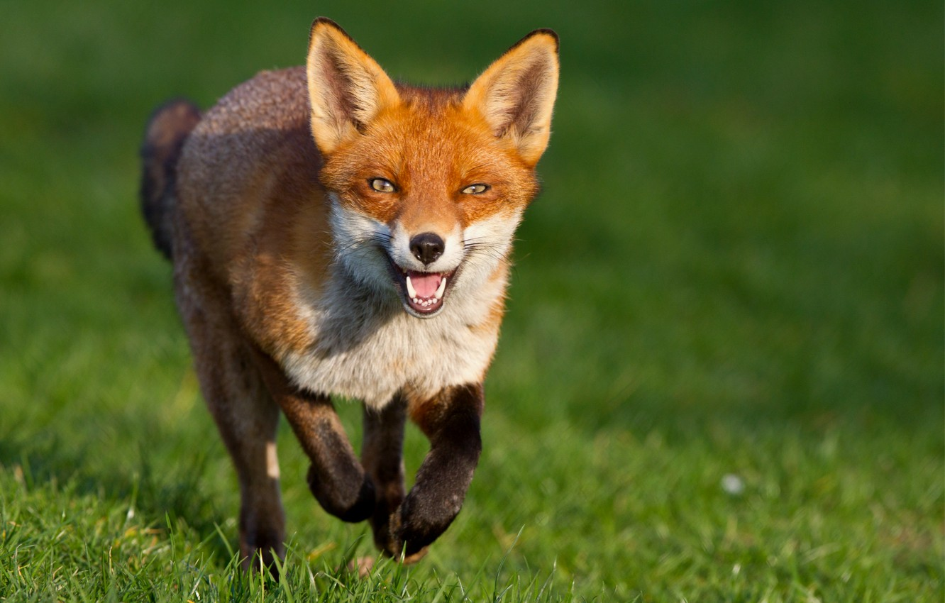 Photo wallpaper grass, look, green, background, muzzle, Fox, Fox, red, runs, tricky, Fox