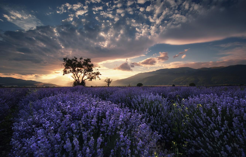 Photo wallpaper field, summer, lavender