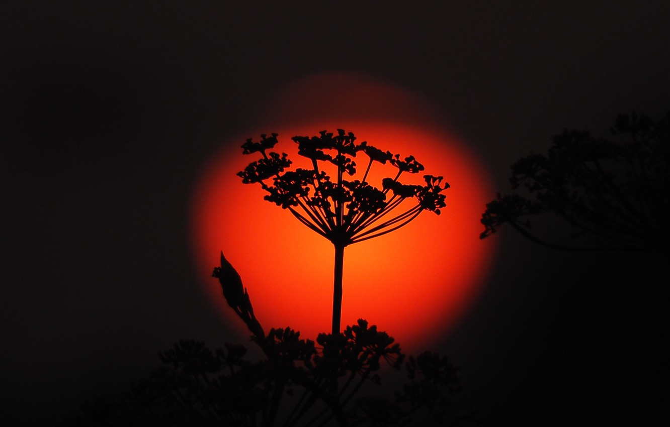 Photo wallpaper the sun, sunset, plant, silhouette