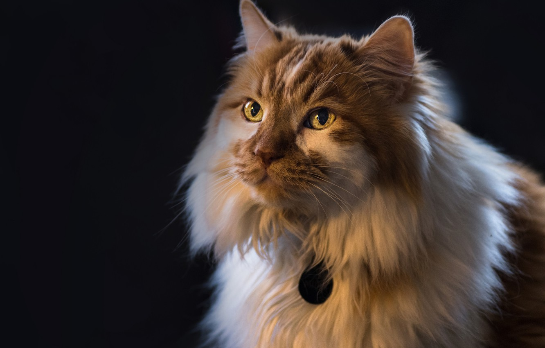 Photo wallpaper cat, cat, look, background, portrait, fluffy