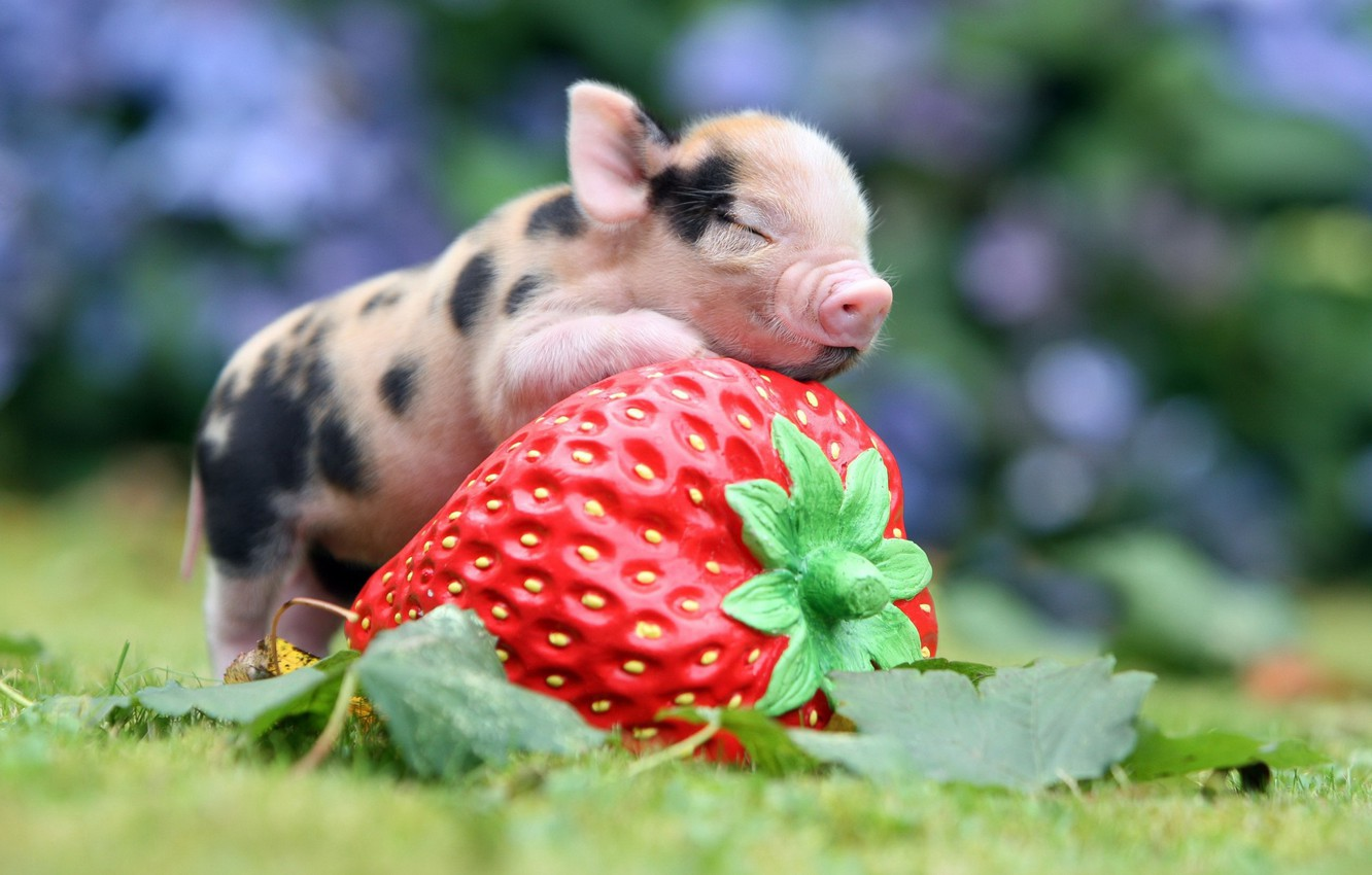 Photo wallpaper strawberry, berry, pig