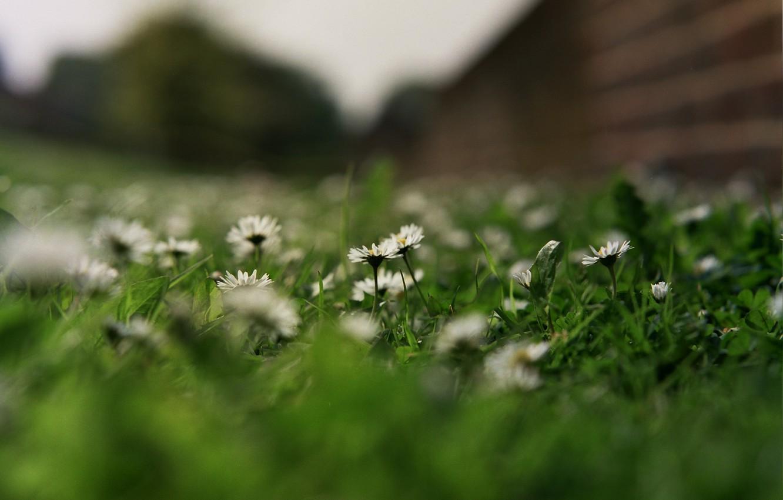 Photo wallpaper grass, flowers, chamomile, petals, white