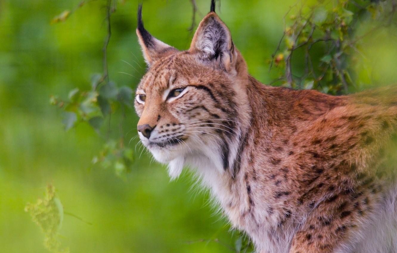 Photo wallpaper predator, lynx, wild cat