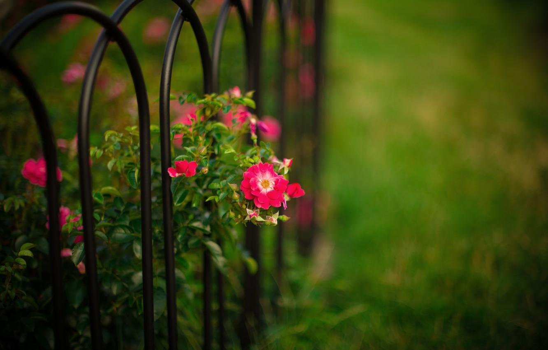 Photo wallpaper flowers, nature, the fence, Bush, garden, Roses, rods, bokeh