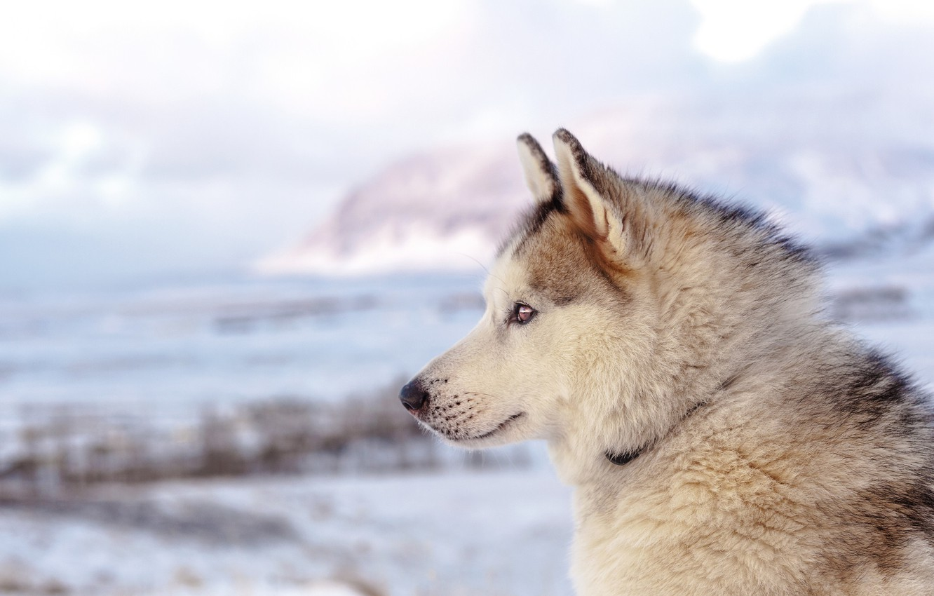 Photo wallpaper beach, sea, ocean, dog, winter, clouds, mountain, snow, seaside, husky