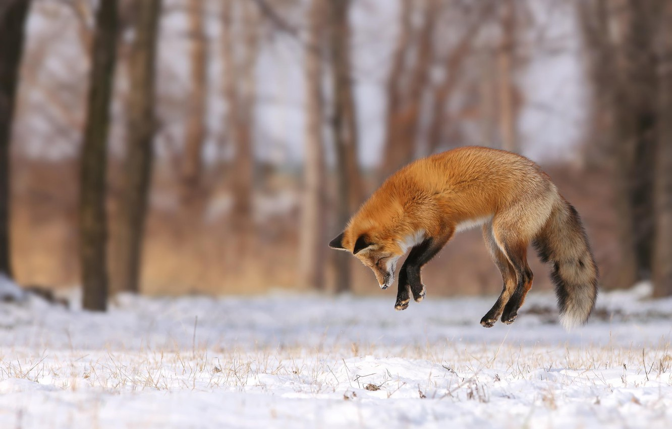 Photo wallpaper winter, forest, snow, trees, jump, glade, Fox, hunting
