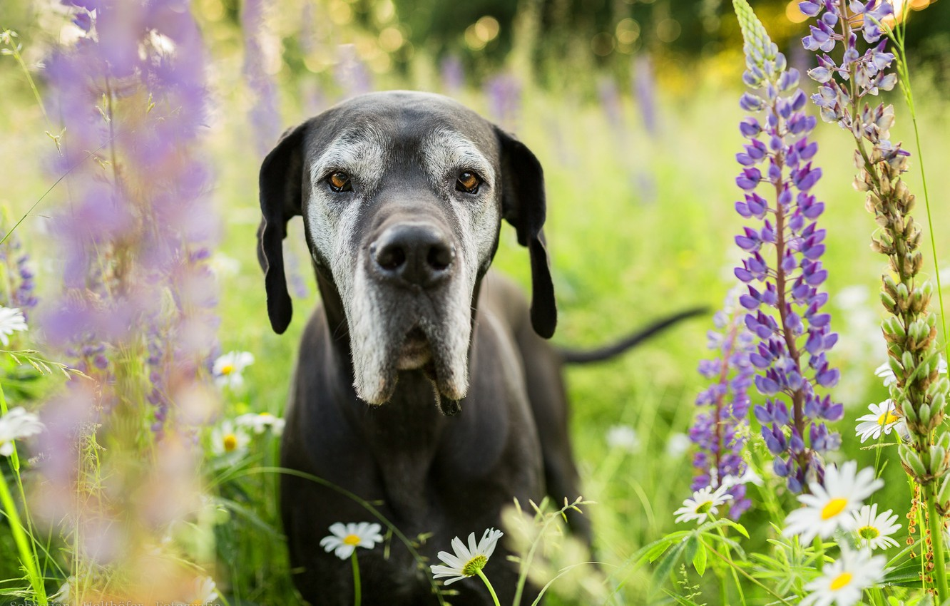 Photo wallpaper look, face, flowers, chamomile, dog, meadow, Lupin, Great Dane