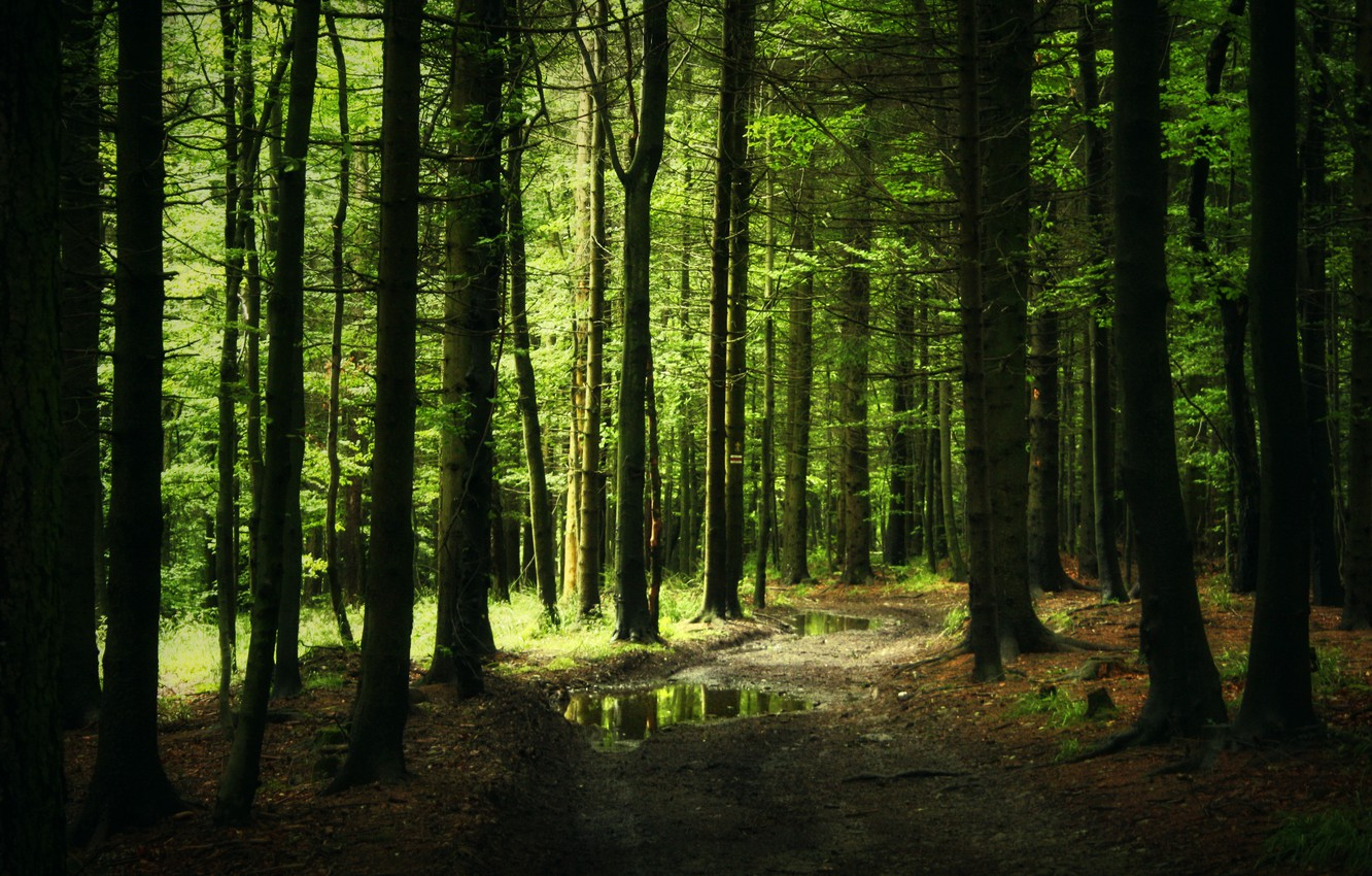 Photo wallpaper forest, trail, thicket, track, puddles, needles