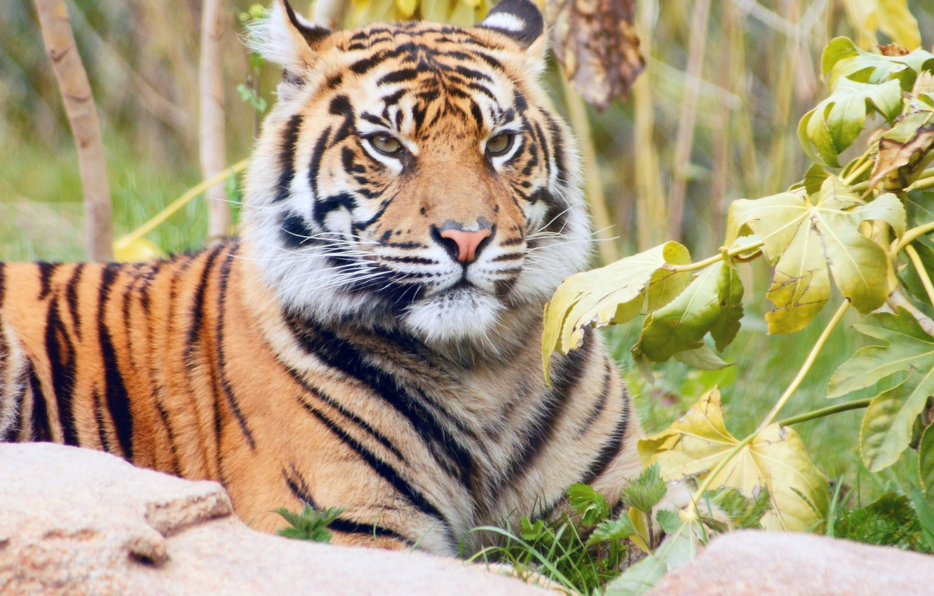 Photo wallpaper grass, leaves, branches, nature, tiger, predator, lies, striped, resting, handsome