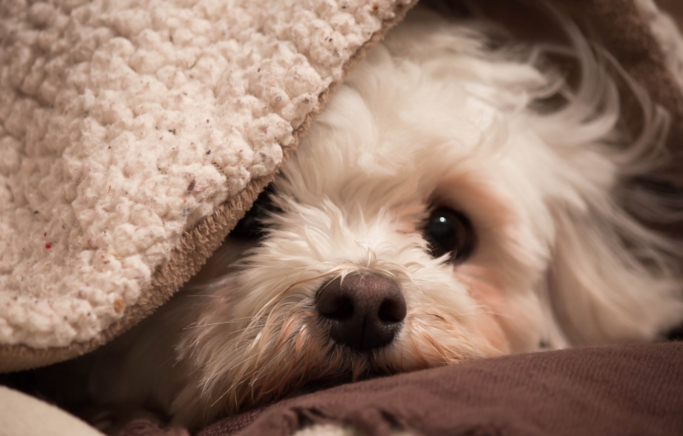 Photo wallpaper look, comfort, house, each, dog, bichon