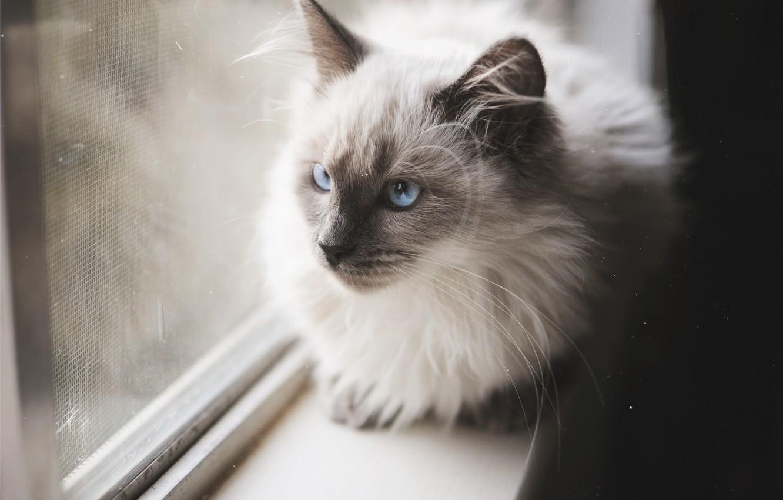 Photo wallpaper cat, cat, mustache, wool, blue eyes