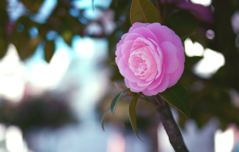 Photo wallpaper flower, leaves, macro, pink, branch, Camellia