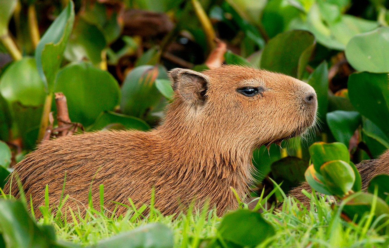 Photo wallpaper leaves, nature, rodent, Hydrochoerushydrochaeris, the capybara