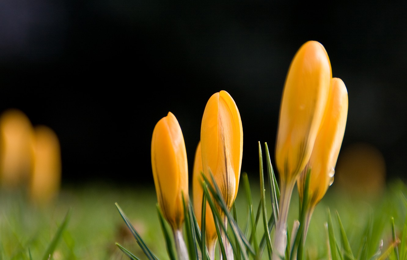 Photo wallpaper drops, flowers, yellow, spring, crocuses, green
