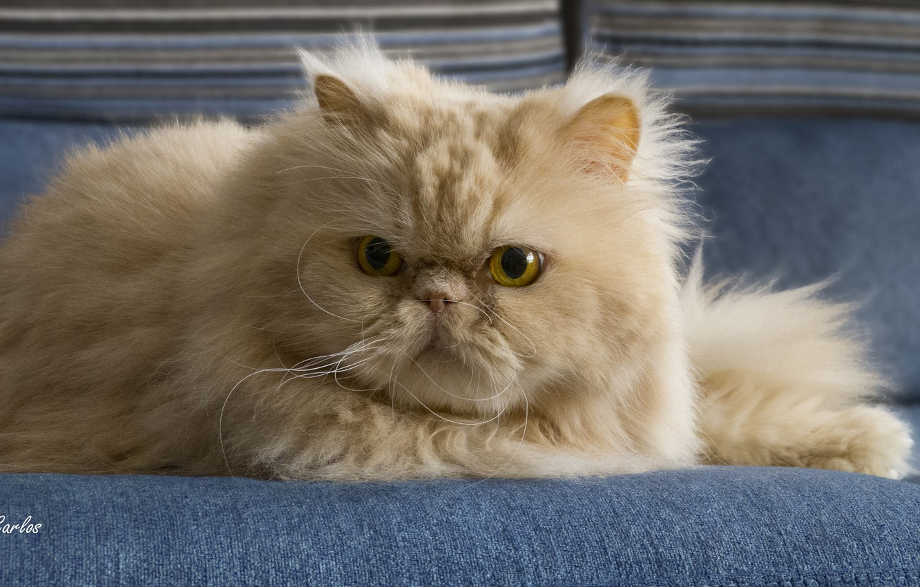 Photo wallpaper cat, mustache, look, fluffy, red, pers, Persian cat