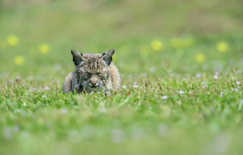 Photo wallpaper face, stay, sleep, predator, lies, ears, lynx, wild cat, sleep