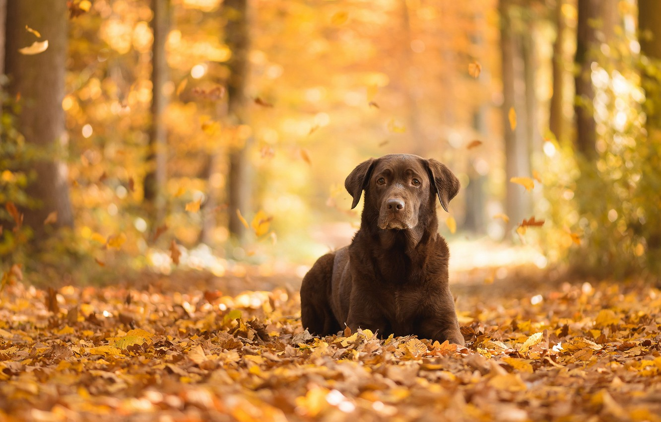 Photo wallpaper autumn, look, each, dog