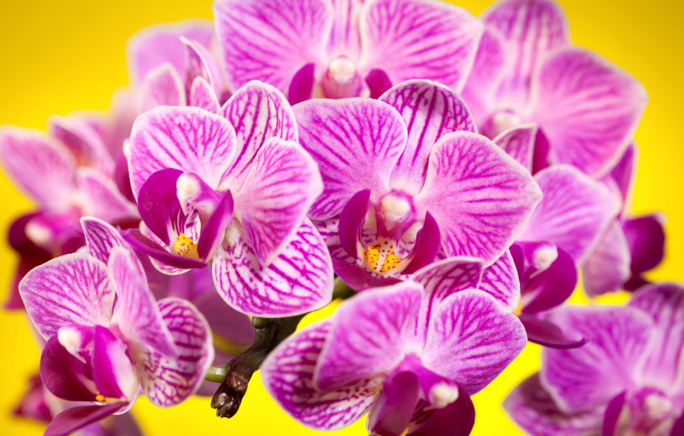 Photo wallpaper flowers, background, petals, pink, orchids