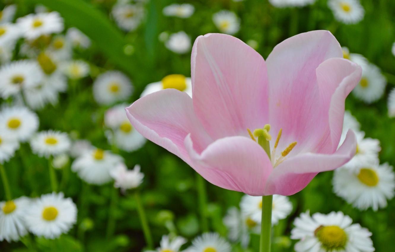 Photo wallpaper macro, Tulip, petals, Bud, bokeh, Daisy