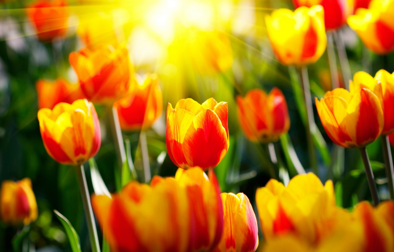Photo wallpaper the sun, rays, flowers, spring, garden, tulips, parks, light