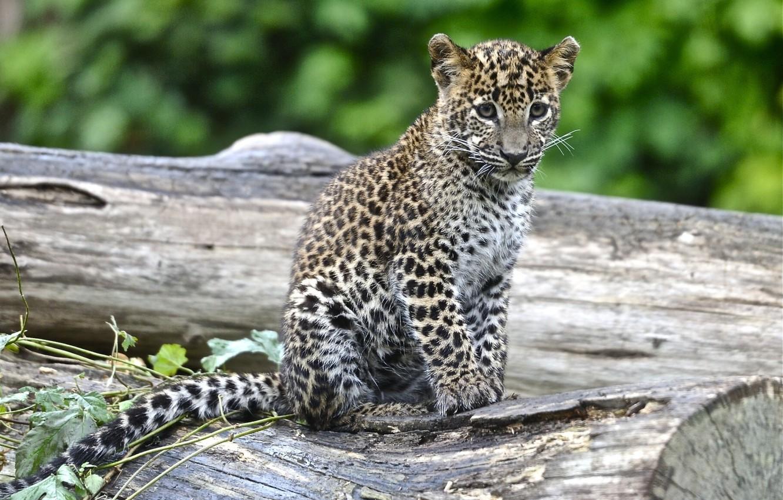 Photo wallpaper spot, leopard, cub