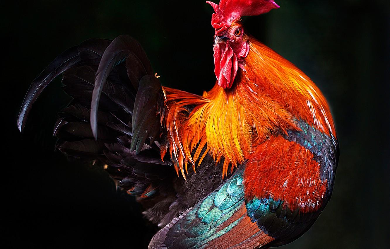 Photo wallpaper bird, feathers, beak, scallop, cock