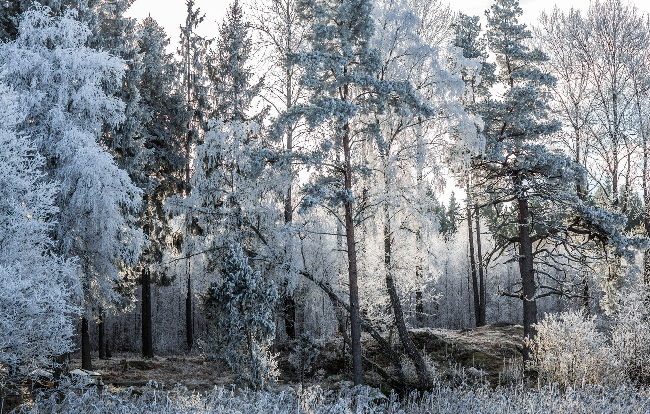Photo wallpaper frost, forest, trees