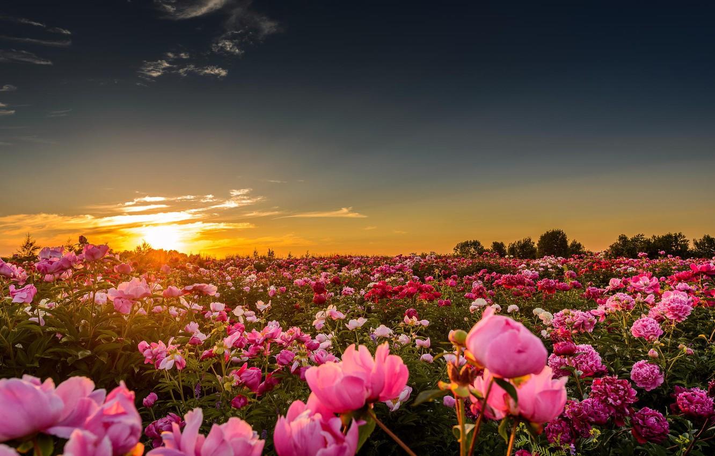 Photo wallpaper field, the sun, sunset, flowers, nature, horizon, peonies