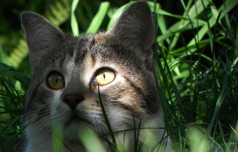 Photo wallpaper eyes, cat, look, Koshak, weed, Tomcat