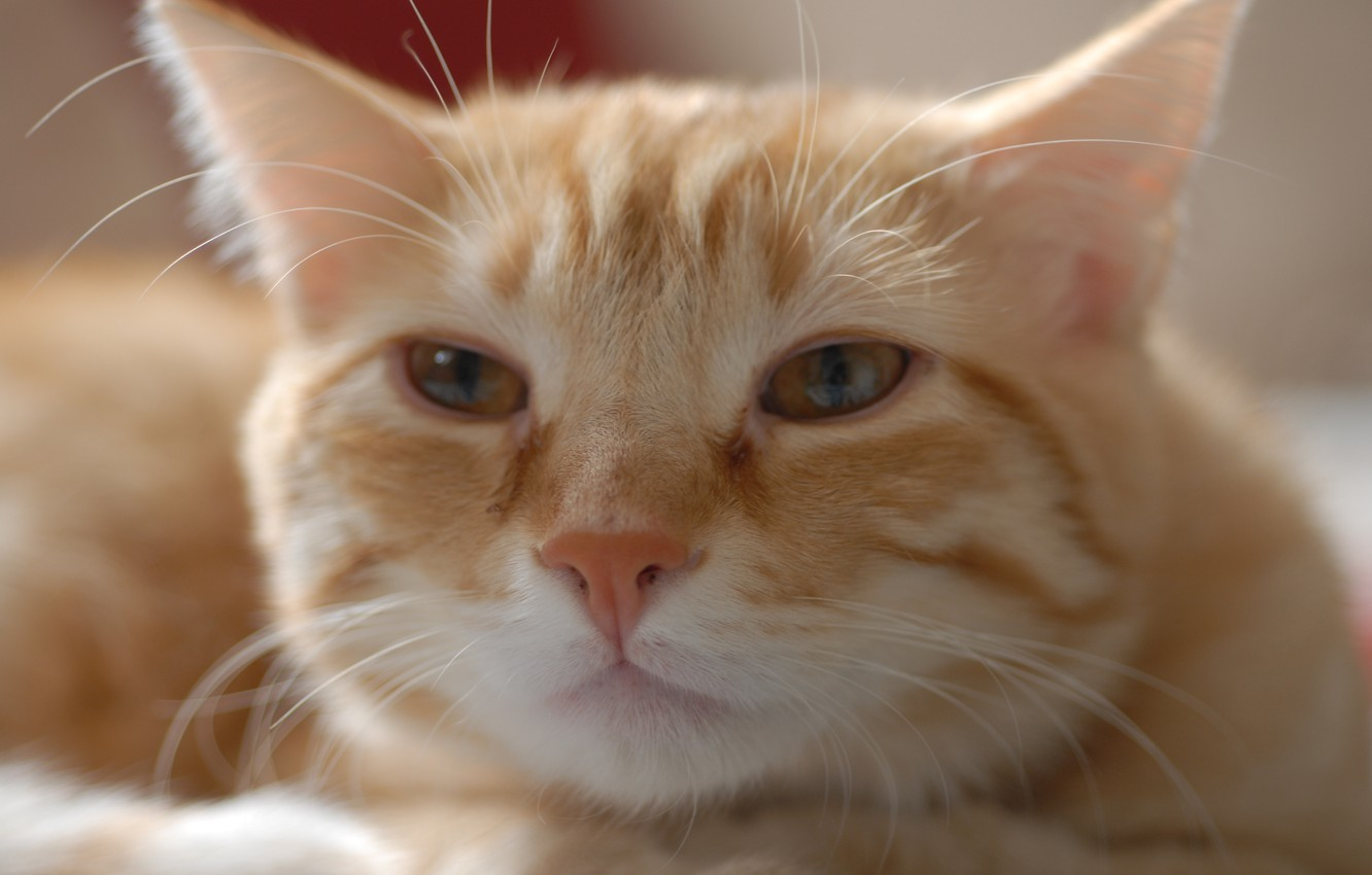 Photo wallpaper cat, look, face, red, tabby