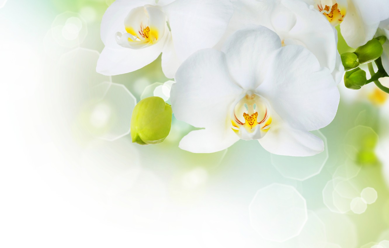 Photo wallpaper flowers, tenderness, beauty, petals, white, white, orchids, buds, Orchid, flowers, beauty, Phalaenopsis, phalaenopsis, Orchid, petals, ...