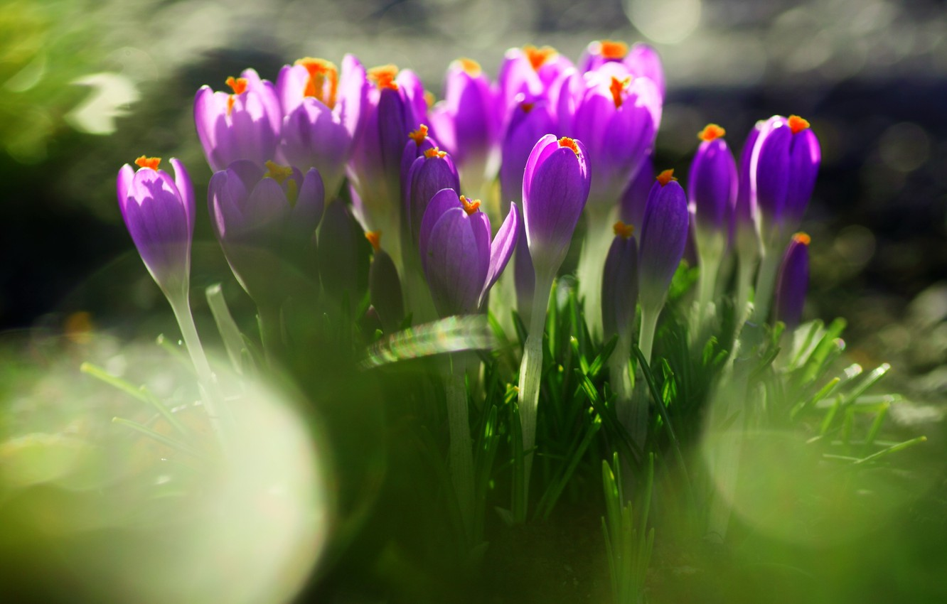 Photo wallpaper greens, grass, leaves, flowers, nature, earth, spring, blur, purple, crocuses, primrose