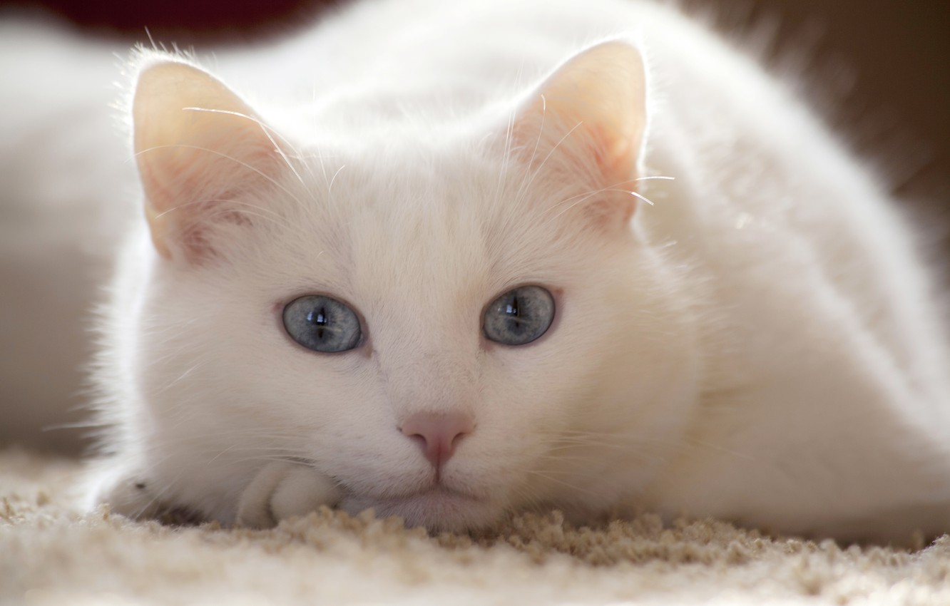 Photo wallpaper white, cat, look, lies, looks