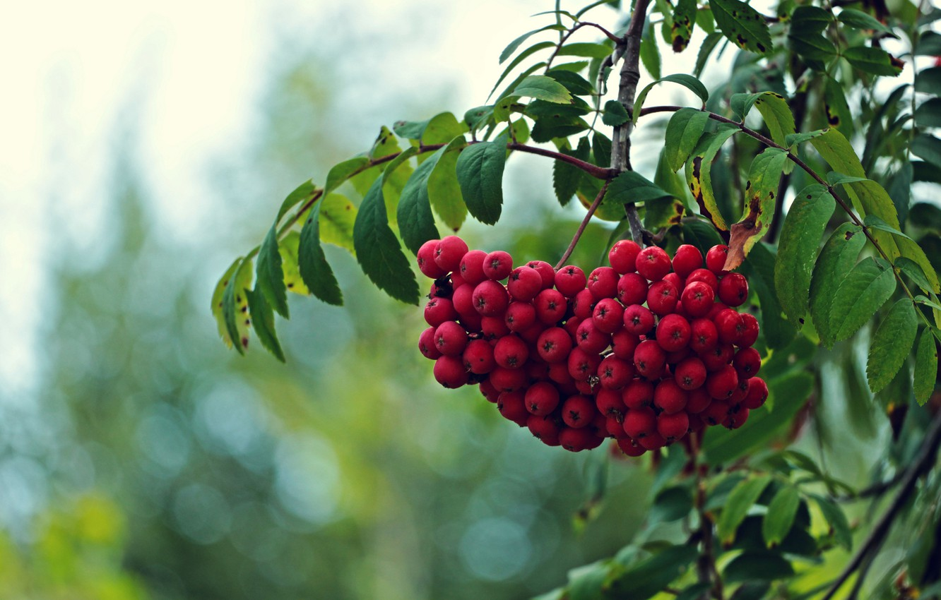 Photo wallpaper leaves, branches, tree, fruit, red, Rowan