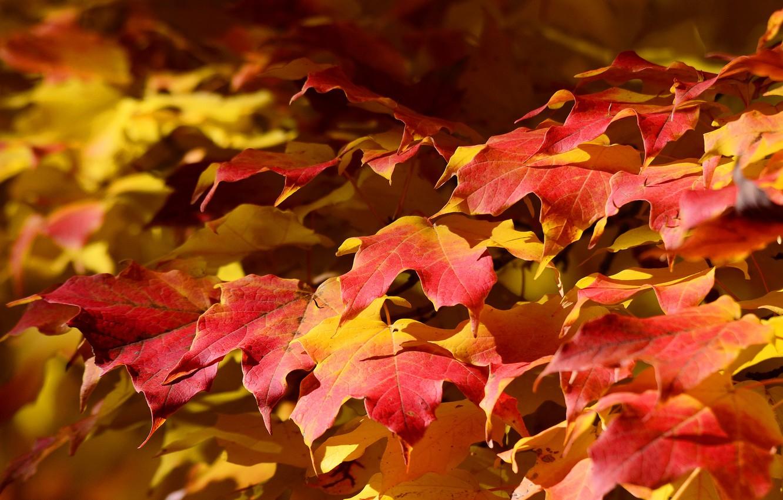 Photo wallpaper autumn, leaves, nature, carpet, maple