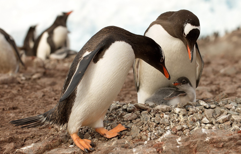Photo wallpaper nature, penguins, Antarctica