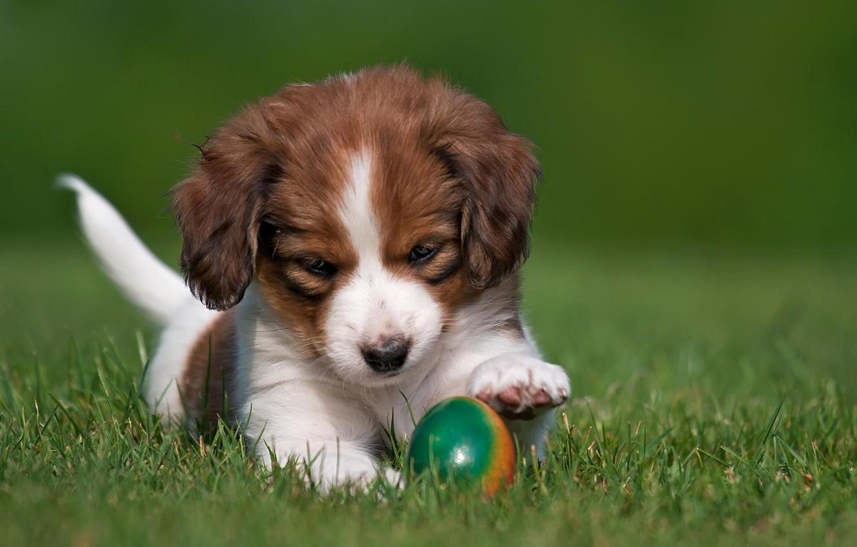 Photo wallpaper animals, grass, nature, egg, dog, puppy, kooikerhondje