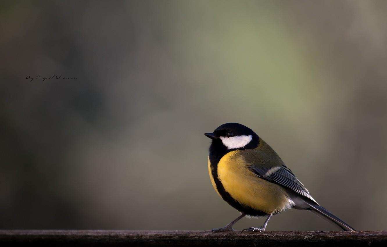 Photo wallpaper bird, branch, yellow, titmouse, tit