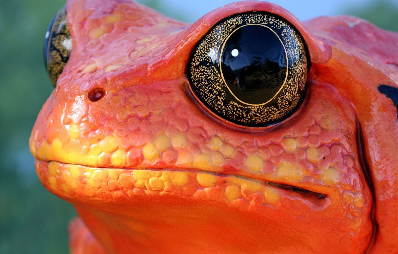 Photo wallpaper eyes, frog, Red
