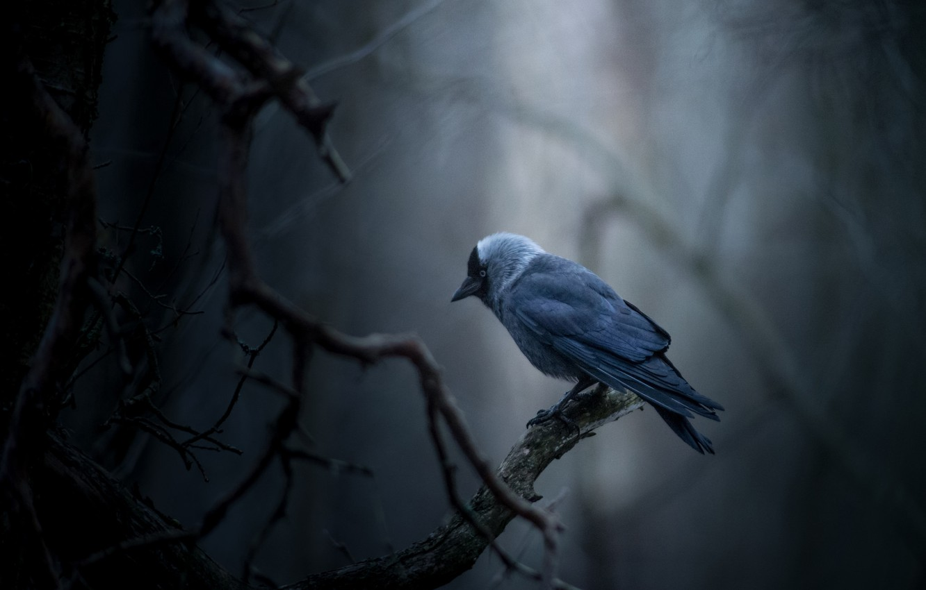 Photo wallpaper bird, bokeh, Jackdaw