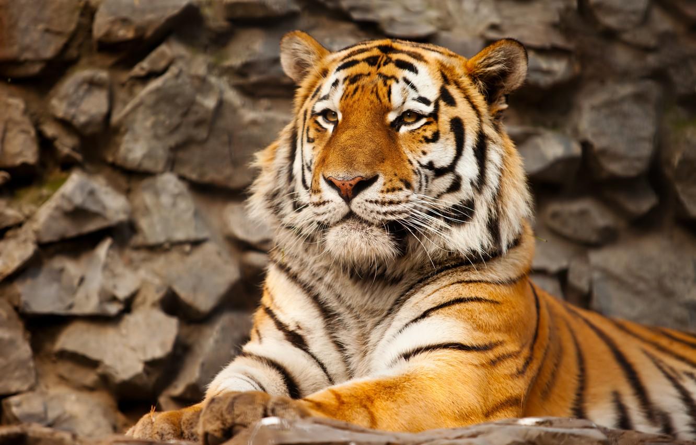 Photo wallpaper cat, tiger, stone, predator, the Amur tiger
