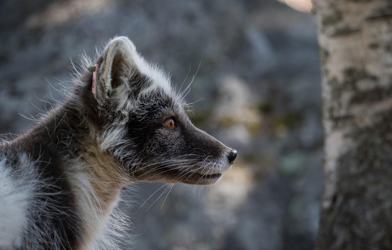 Photo wallpaper portrait, Fox, Fox, polar, in summer furs