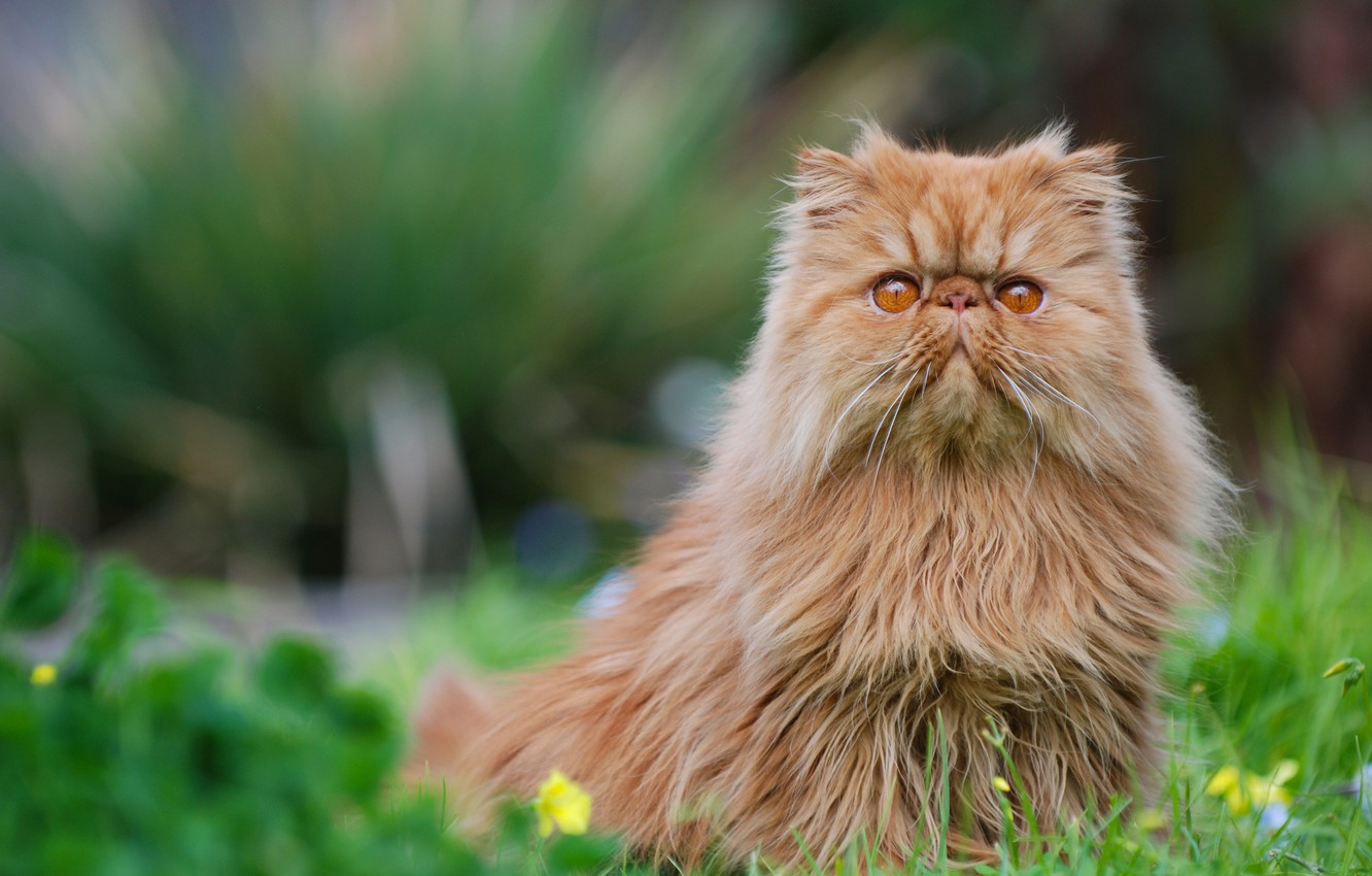 Photo wallpaper cat, red, Persian cat