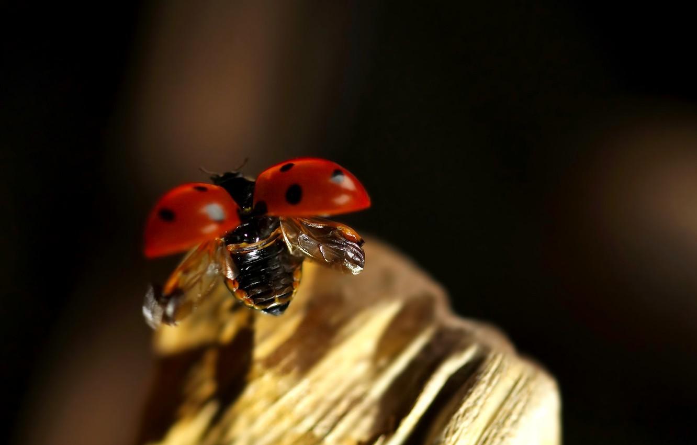Photo wallpaper flight, ladybug, beetle, insect