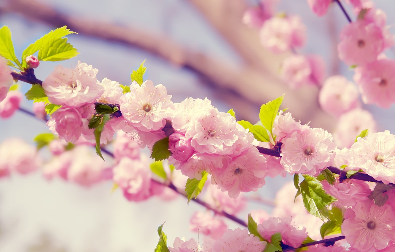 Photo wallpaper flowers, spring, petals, Sakura, flowering, cherry.branch