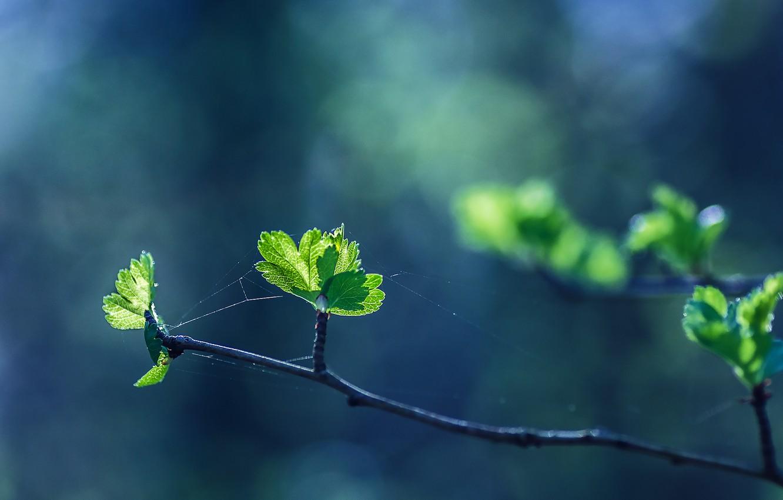 Photo wallpaper leaves, green leaves, branch, buds, leaves, bokeh, bokeh, web, branch, green leaves, web, buds