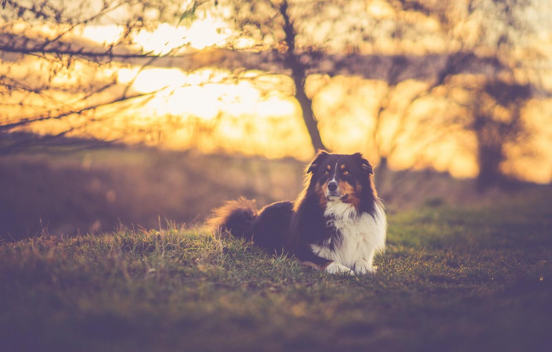 Photo wallpaper grass, trees, field, dog, sundown, sunlight, branches, silhouettes, australian shepherd, canine, sunseu